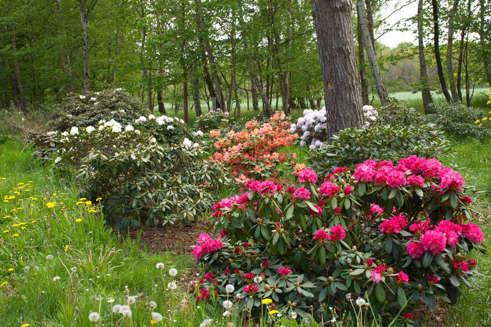 Nivågård 22 rhododendron_resize